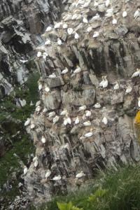 Gannets on the Rocks