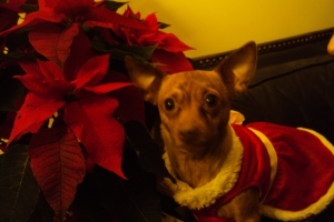 Daphne the Christmas Pooch!